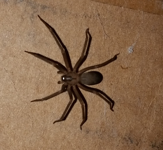 Brown Recluse on Cardboard