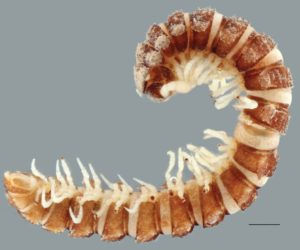 Campodesmus alobatus (Millipede in CI)
